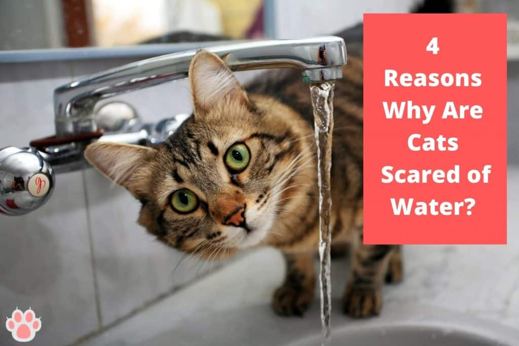 why are cats scared of water