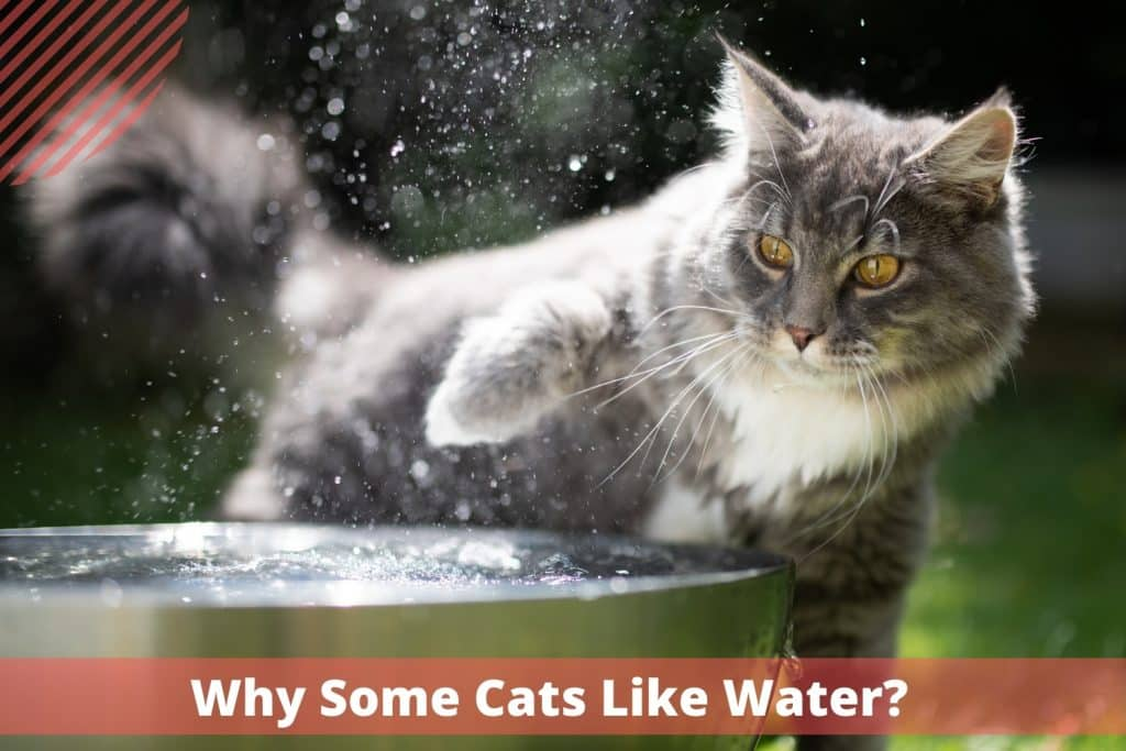 Why Some Cats Like Water?